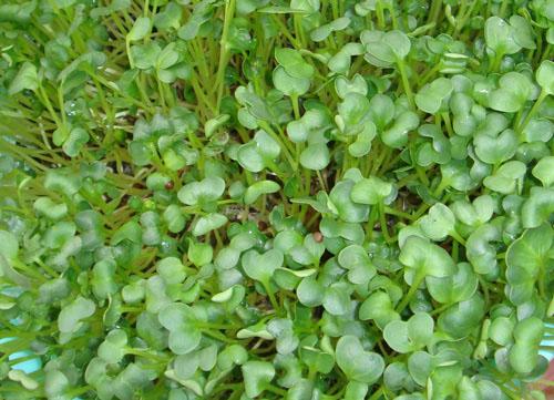 Tiêu thụ mầm cải xanh có thể làm giảm sự phát triển của H. pylori